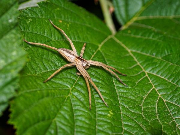 Pisaura mirabilis (Nursery web spider) by chavender