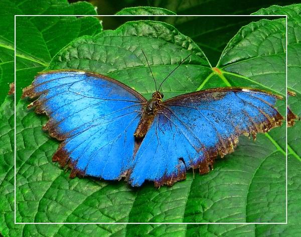 A Tattered Blue Morpho (Morpho peleides)  (best viewed large) by gconant