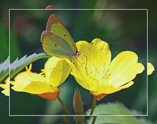 A Clouded Sulphur & Flower (Phoebis sennae) (best viewed large) by gconant