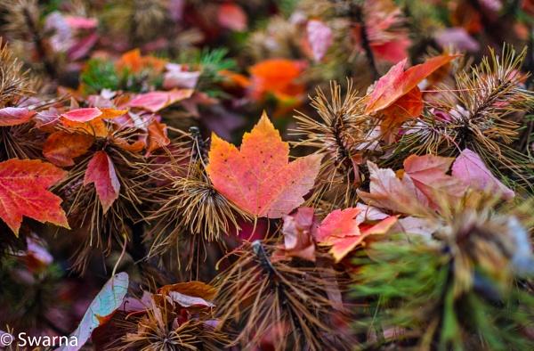 Maple Leaf... by Swarnadip