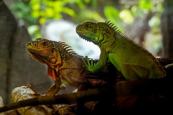 Green Iguana by manicam