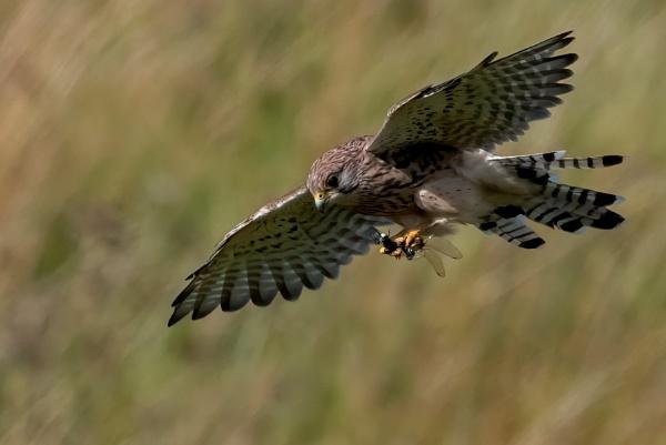 Kestrel with its prey by Richard_b