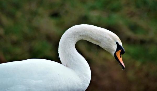 swan by jenny007