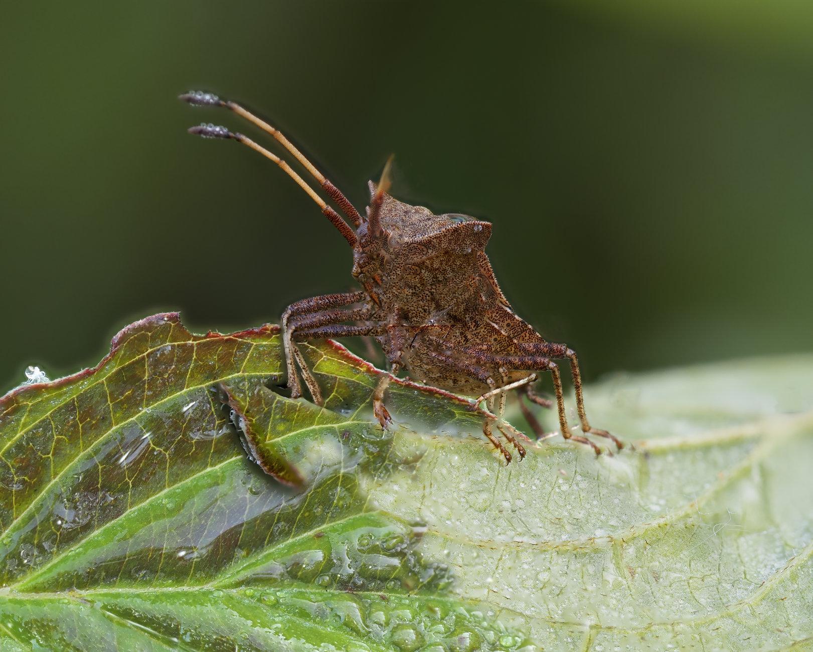 Shield Bug 2