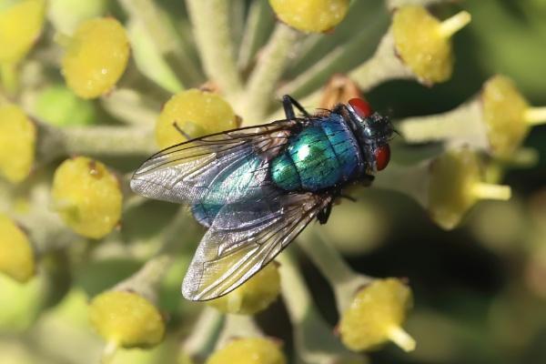 Greenbottle Fly by Steveo28