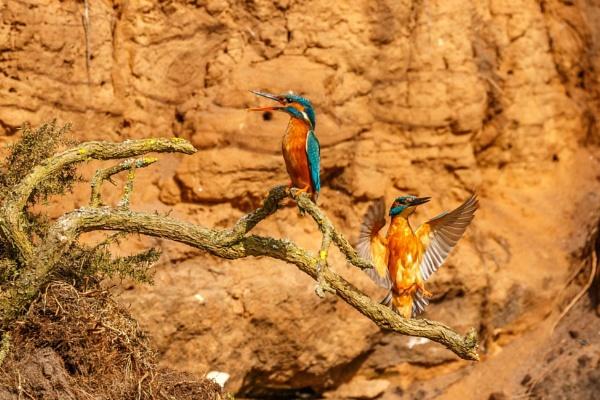 Kingfishers by ninpo135