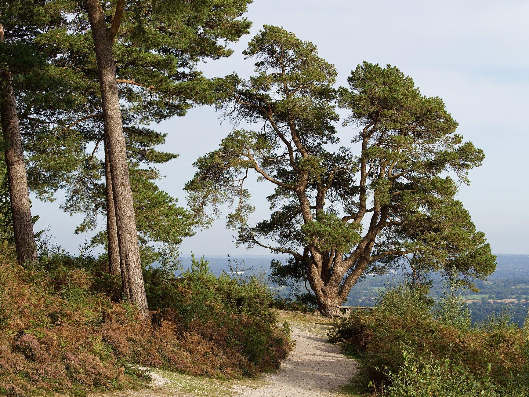 Tree near Leith Tower, Surrey