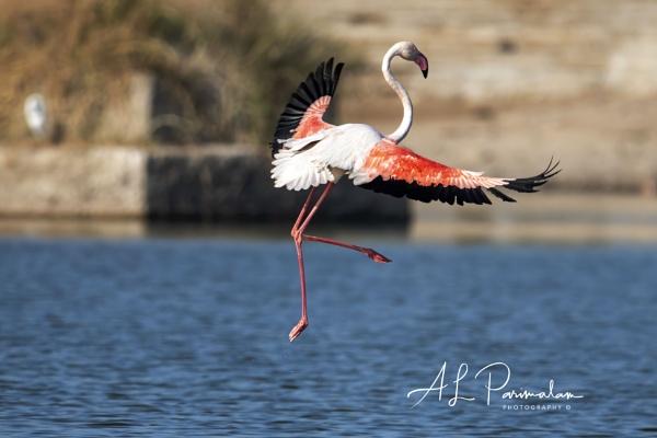 Greater Flamingo by Pari56