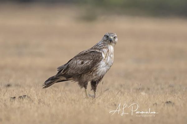 Long Legged Buzzard by Pari56