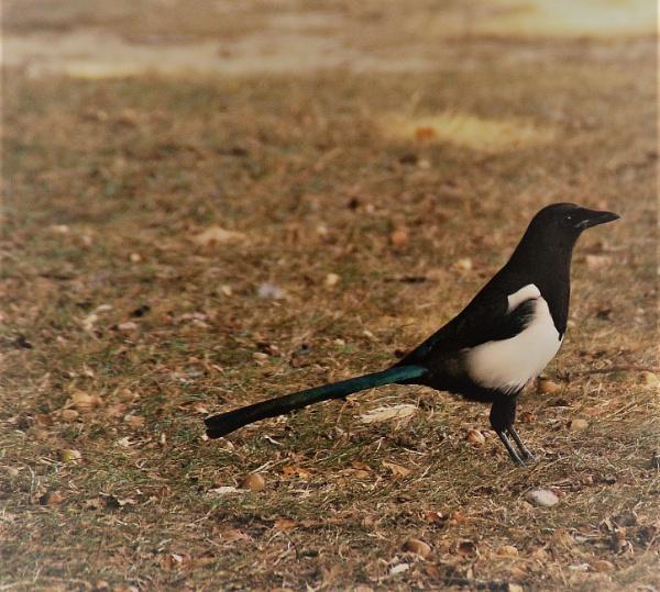 Magpie stalker by AnitaH