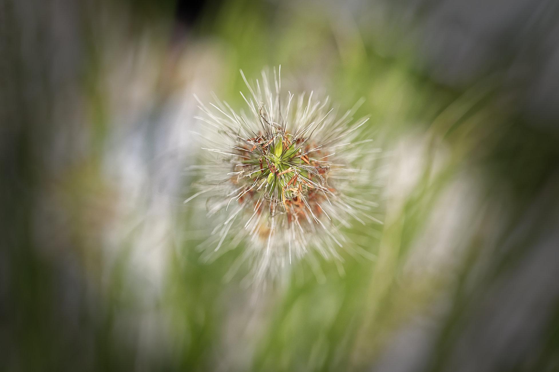 Ornamental grass seed head.