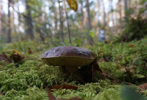 Old mushroom by SauliusR