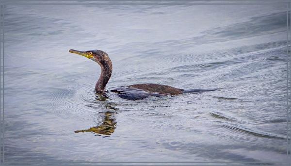 Cormorant on a fishing trip by ivalyn