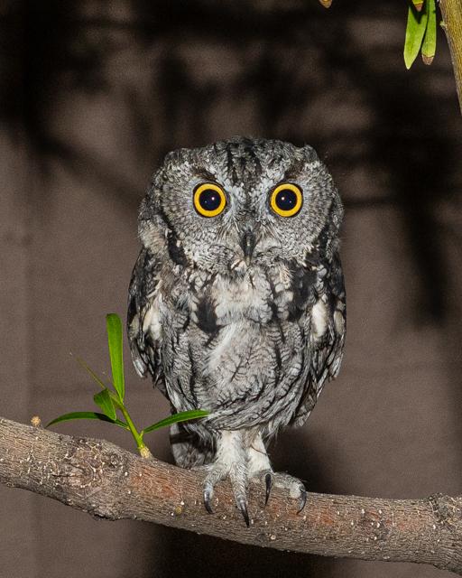 "8"" tall Western Screech owl."