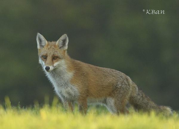 Fox by KBan