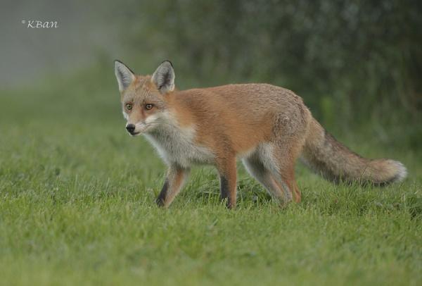 Friday Fox by KBan