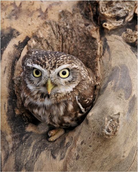 Little Owl by dven
