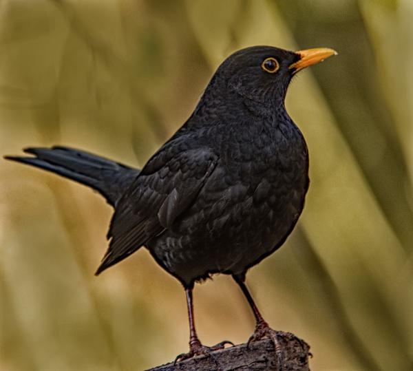 Blackbird by dven