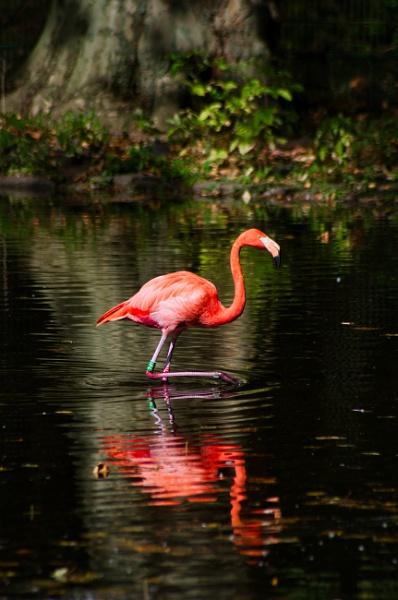 Kubaflamingo crosses the water by icipix