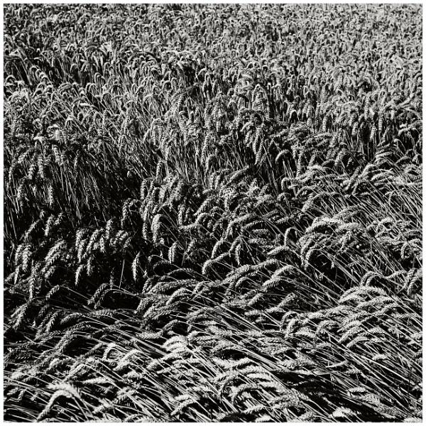 wheat by bliba