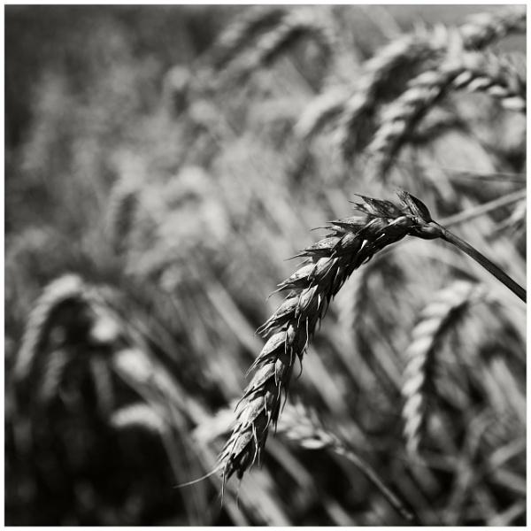 wheat 2 by bliba
