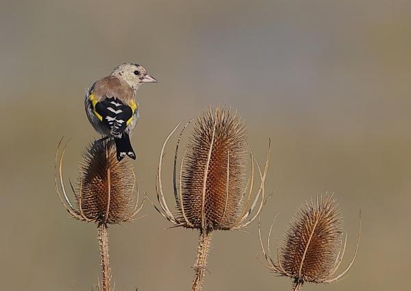 Juvenile Goldfinch by NeilSchofield