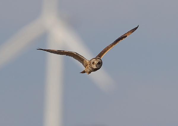 Short Eared Owl in Flight by NeilSchofield