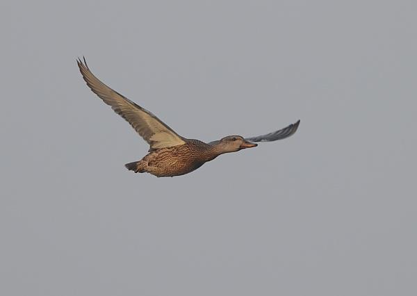 Female Mallard in Flight by NeilSchofield