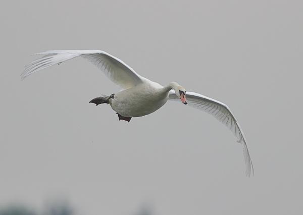 Swan Landing by NeilSchofield