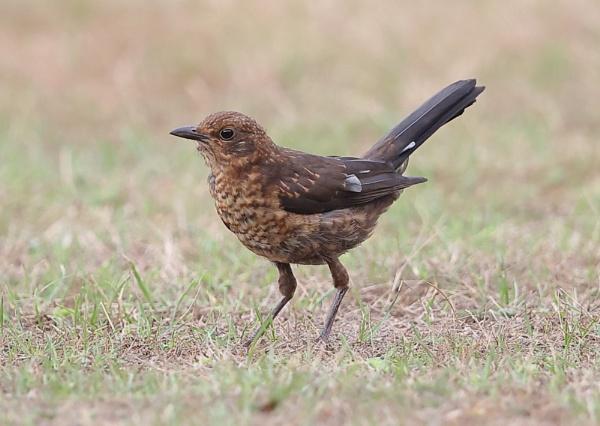 Juvenile Blackbird by NeilSchofield