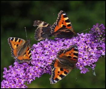 Small Tortoiseshell's on a Buddleia. ##