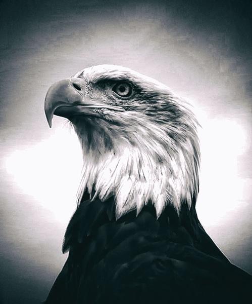 Bald Eagle (Haliaeetus leucocephalus) by Alfie_P