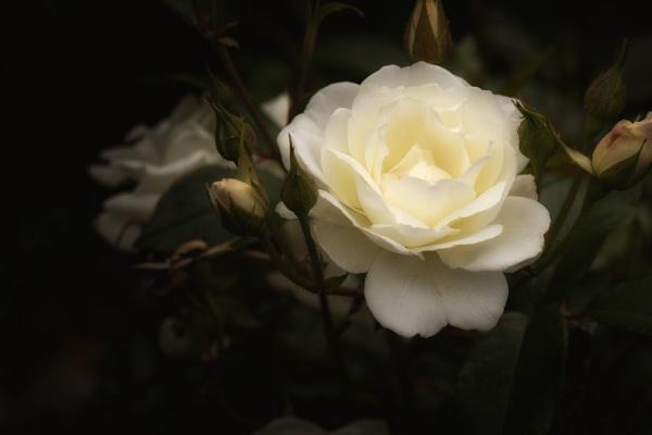 Rose by Alfie_P
