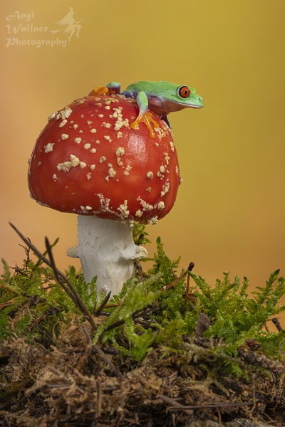 Red eyed tree frog by Angi_Wallace