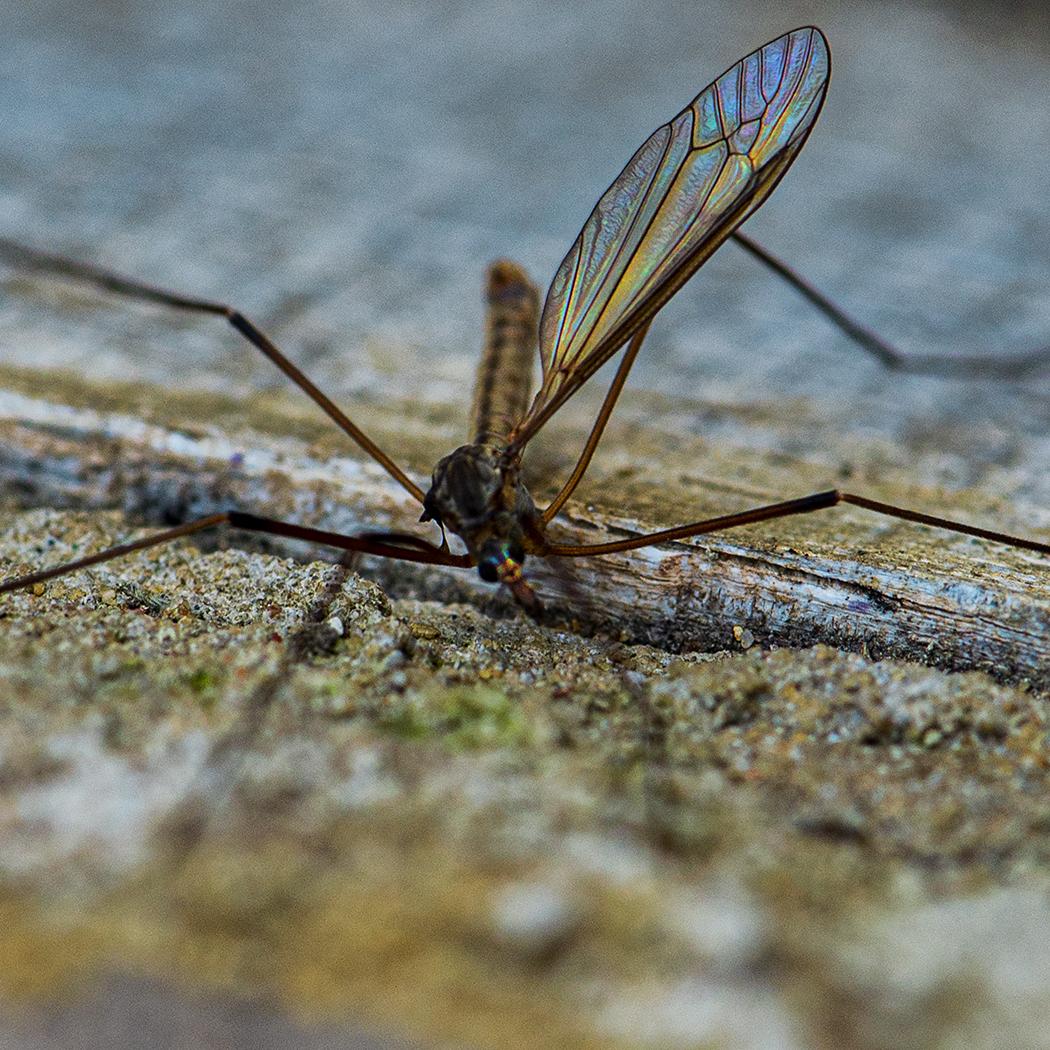 Female Crane Fly