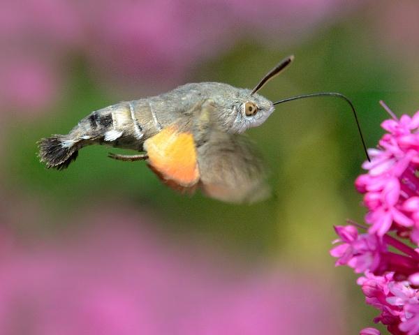 Humming bird hawk-moth by chalkhillblue