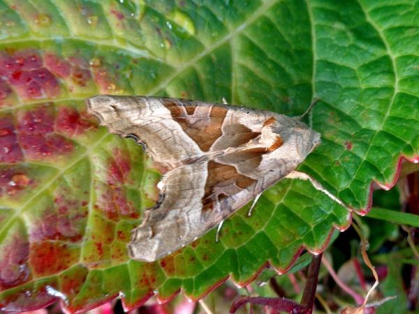 Angle Shades Moth by TonyDy