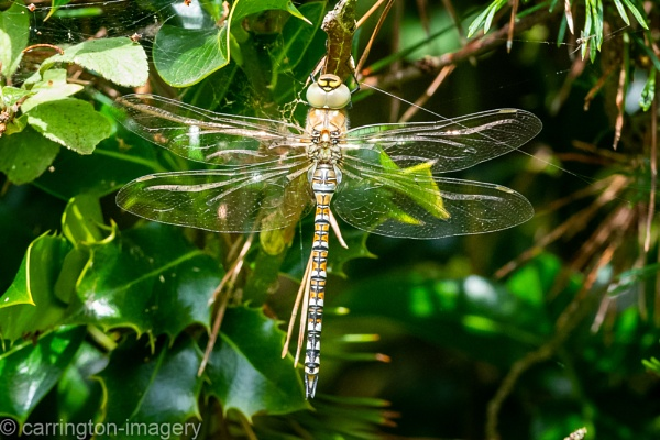 Male Migrant Hawker by CImagery