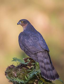 Male Sparrow hawk Accipiter nisus.