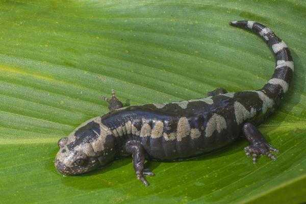 Marbled salamander by jbsaladino