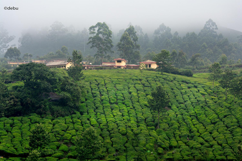 From_Kolkata # 110 Munnar tea garden