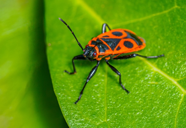 Pyrrhocoris apterus or European Firebug by chavender