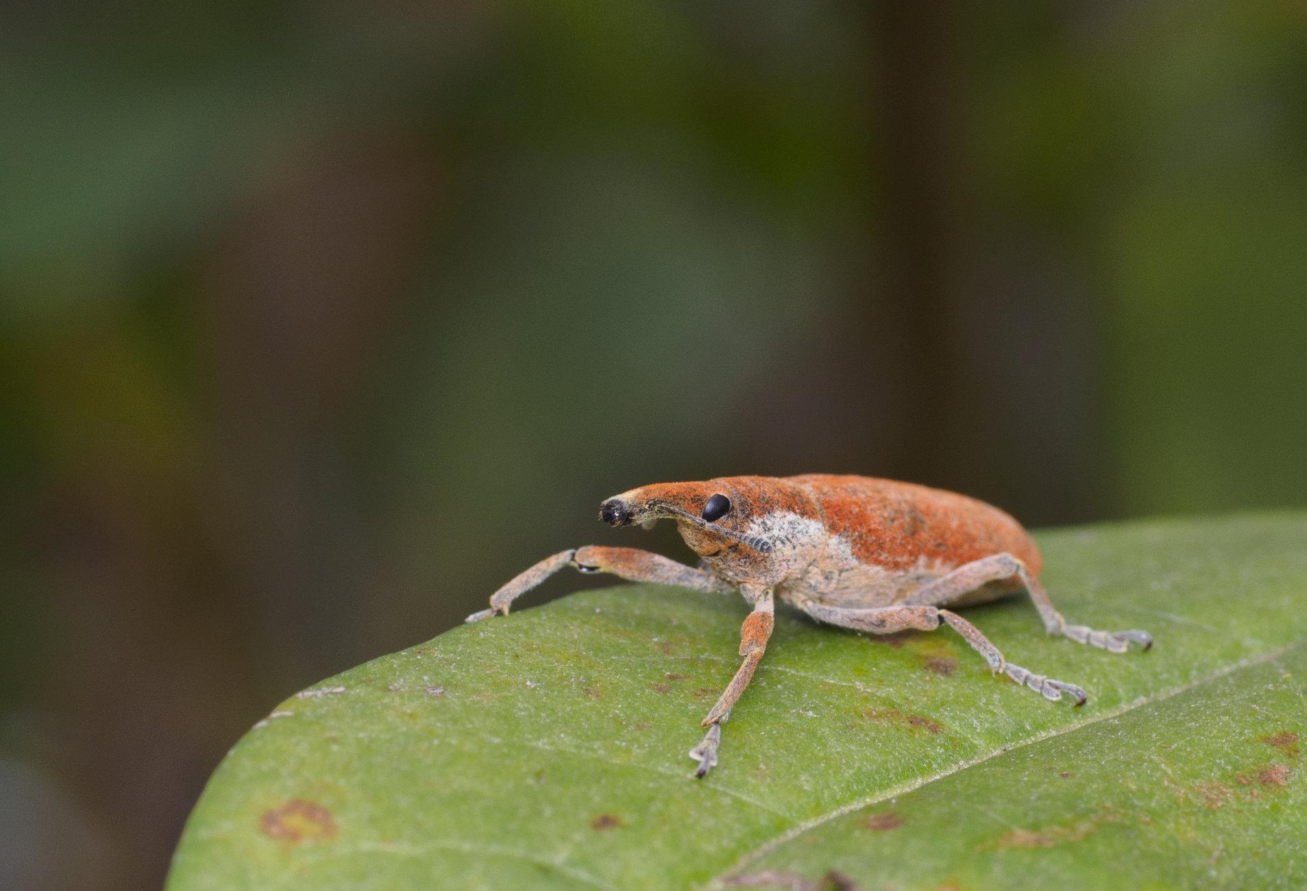 Gonipterus platensis