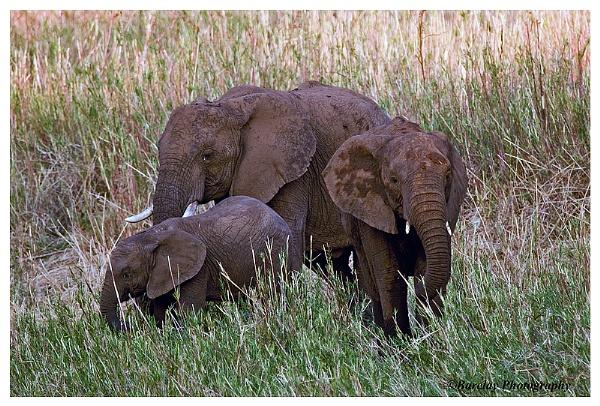Elephants by fatfranksfolley