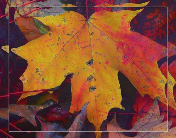 Fallen Maple Leaves by gconant