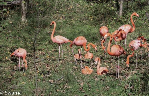 Flamingoes... by Swarnadip