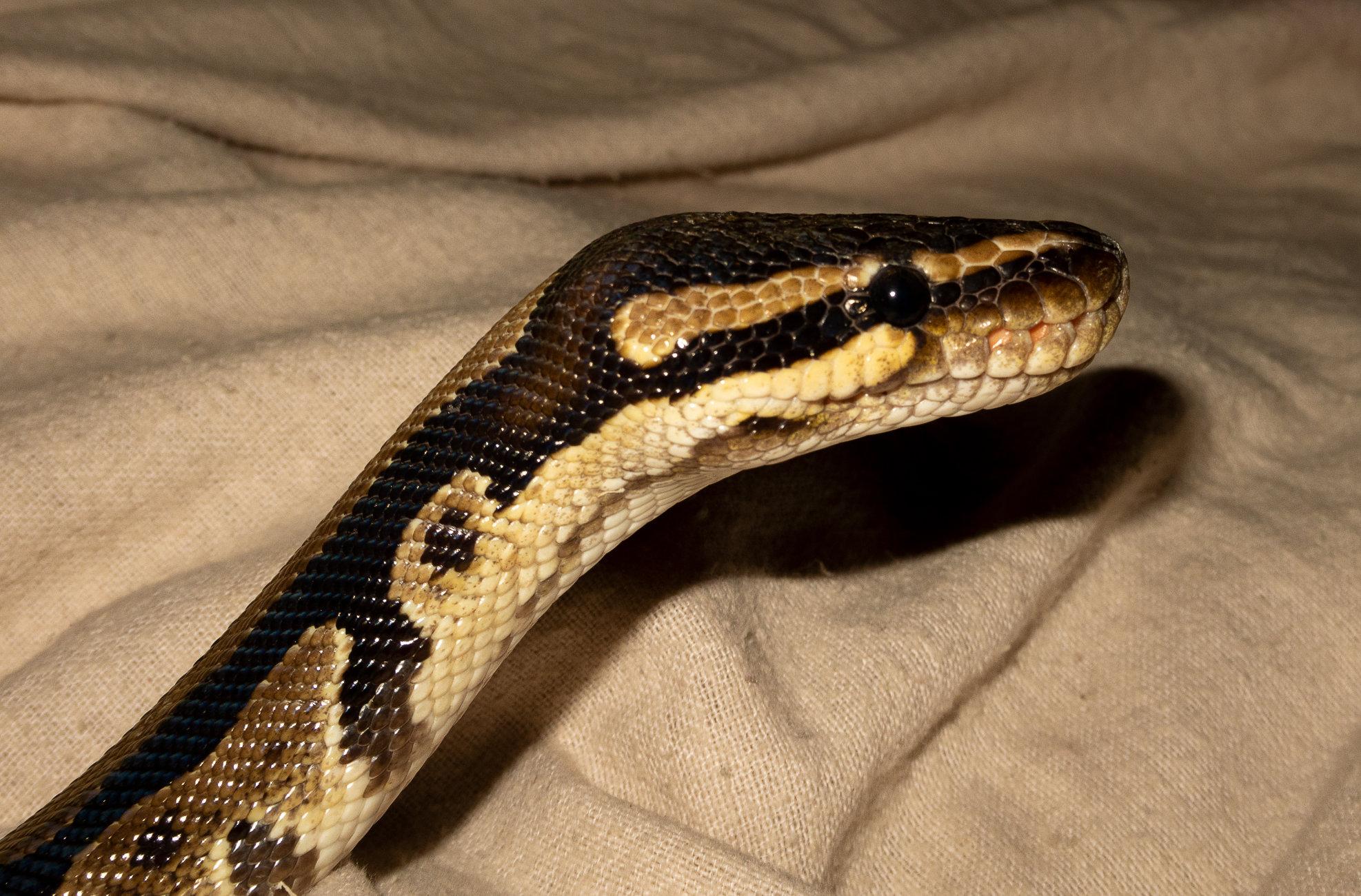 Kaa the Python