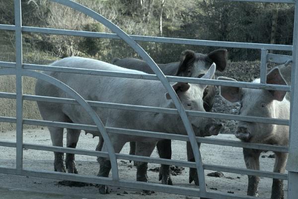 3big pigs by gunner44