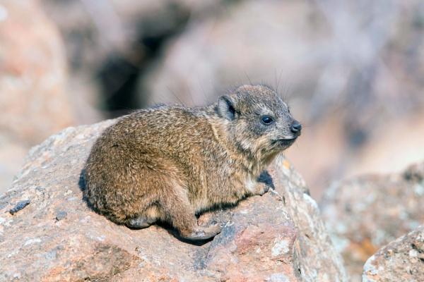Rock Dassie (Rock Rabbit) by Coen