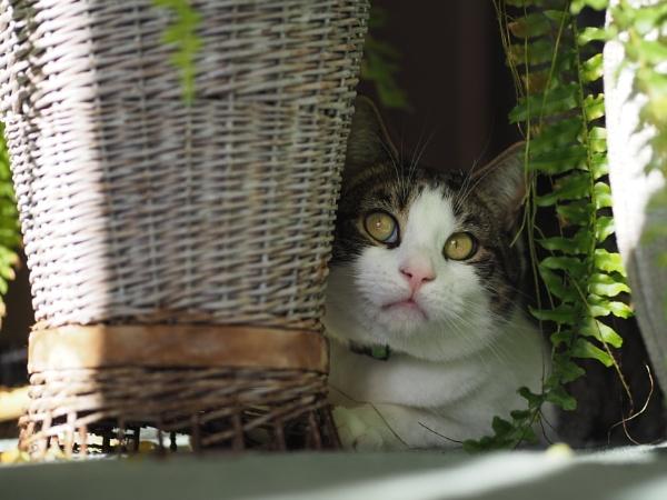 Tabby Cat Dylan by victorburnside
